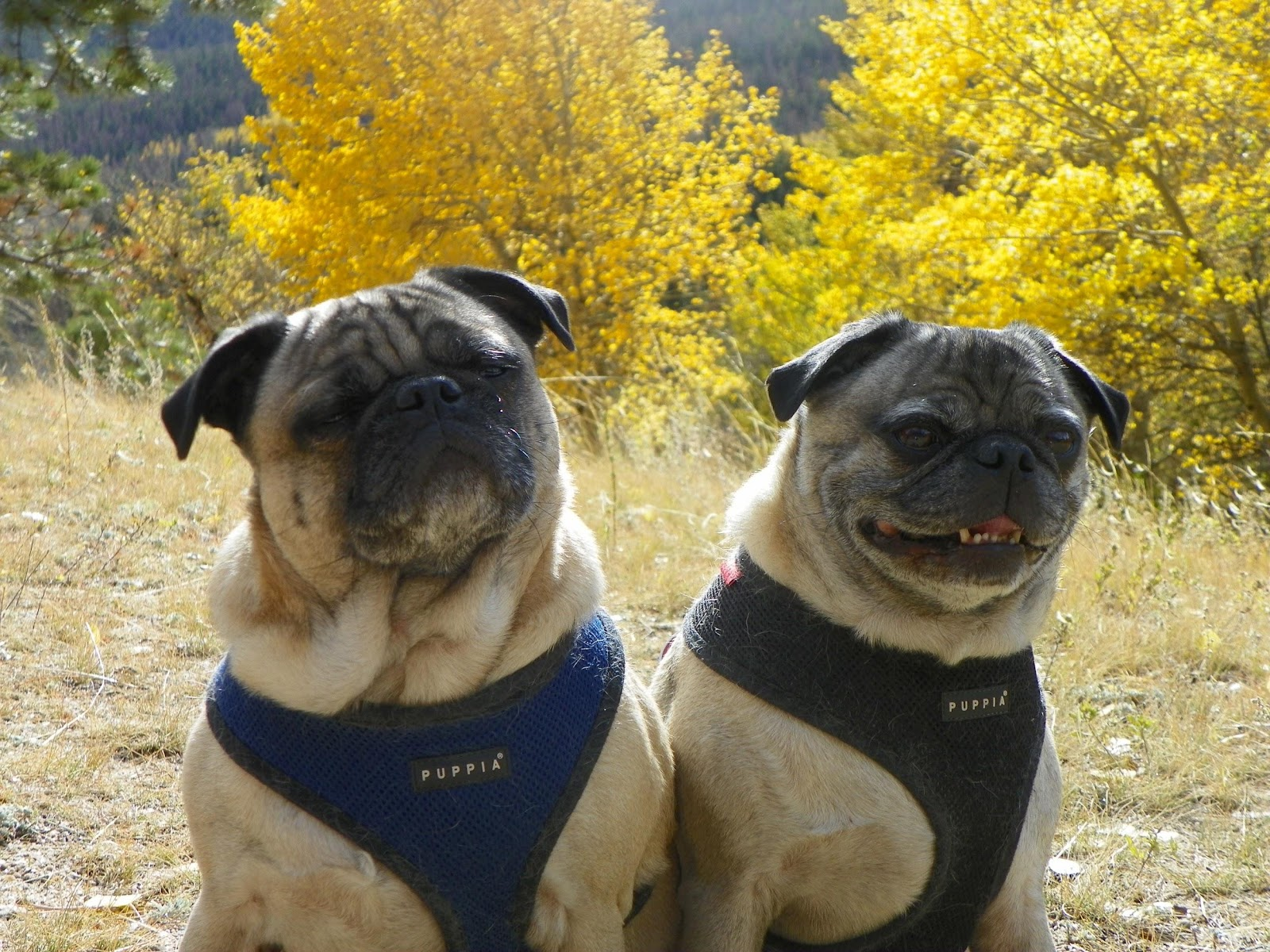 Dog-friendly douglas county - two pugs