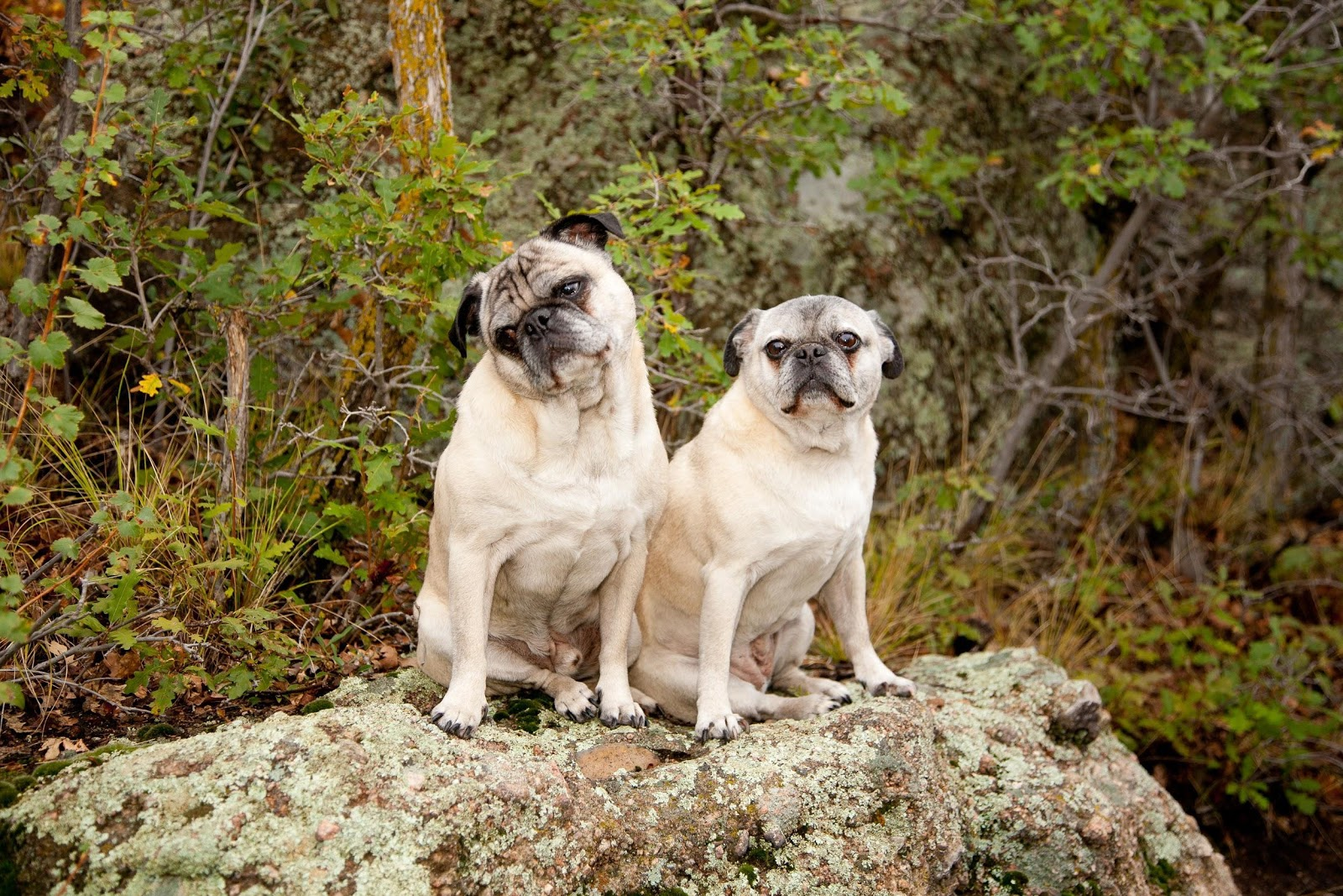 veterinary dentistry in Castle Pines - two pugs on a rock