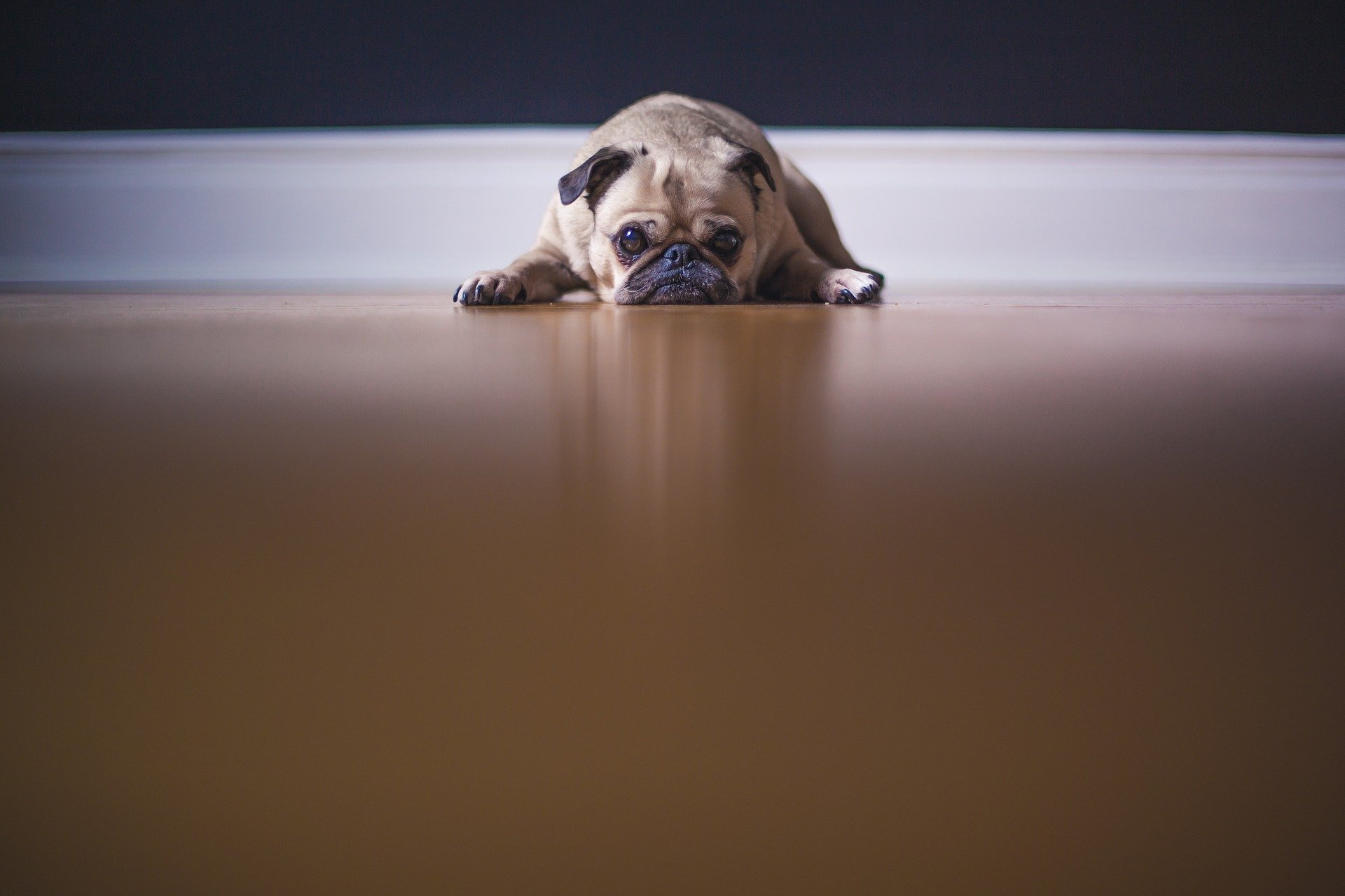 aftercare for pet dental surgery - pug on hardwood floor