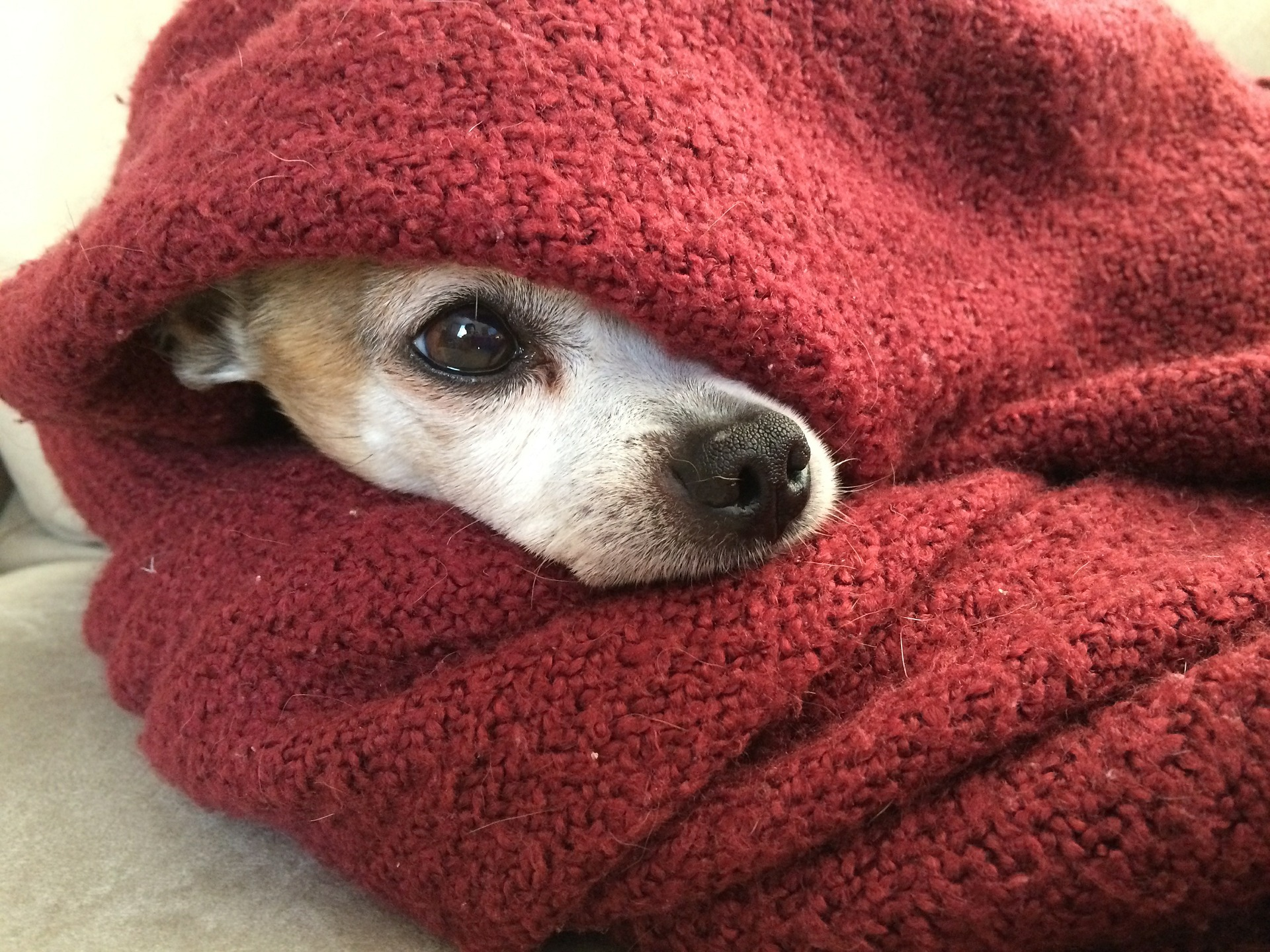 dog teeth chattering - chihuahua in blanket