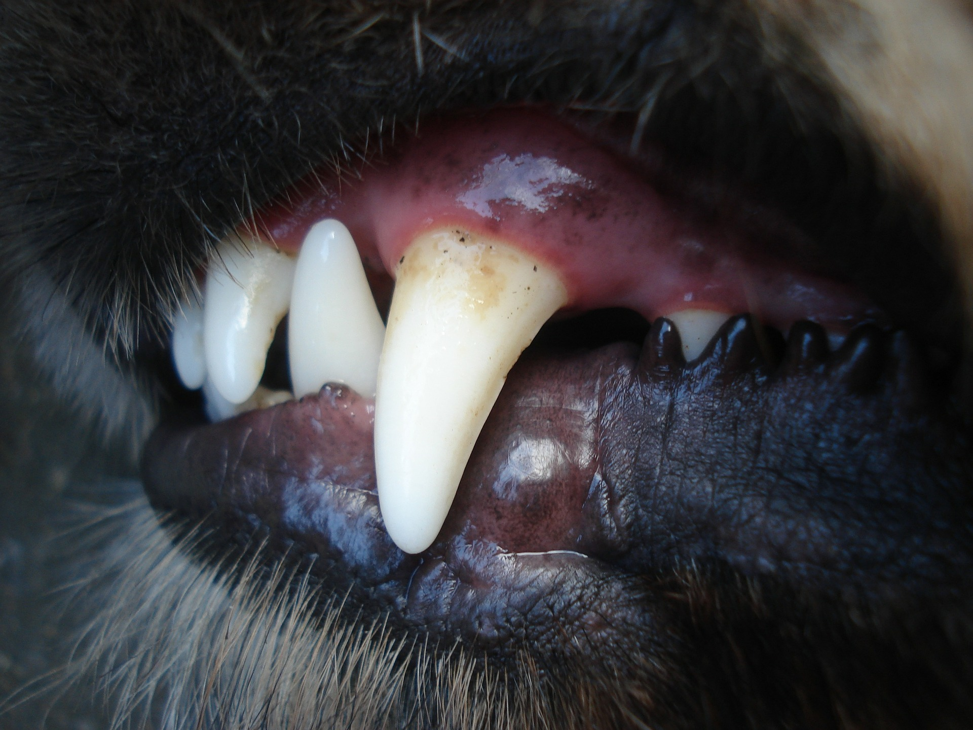 dog teeth cleaning anesthesia - dog teeth plaque