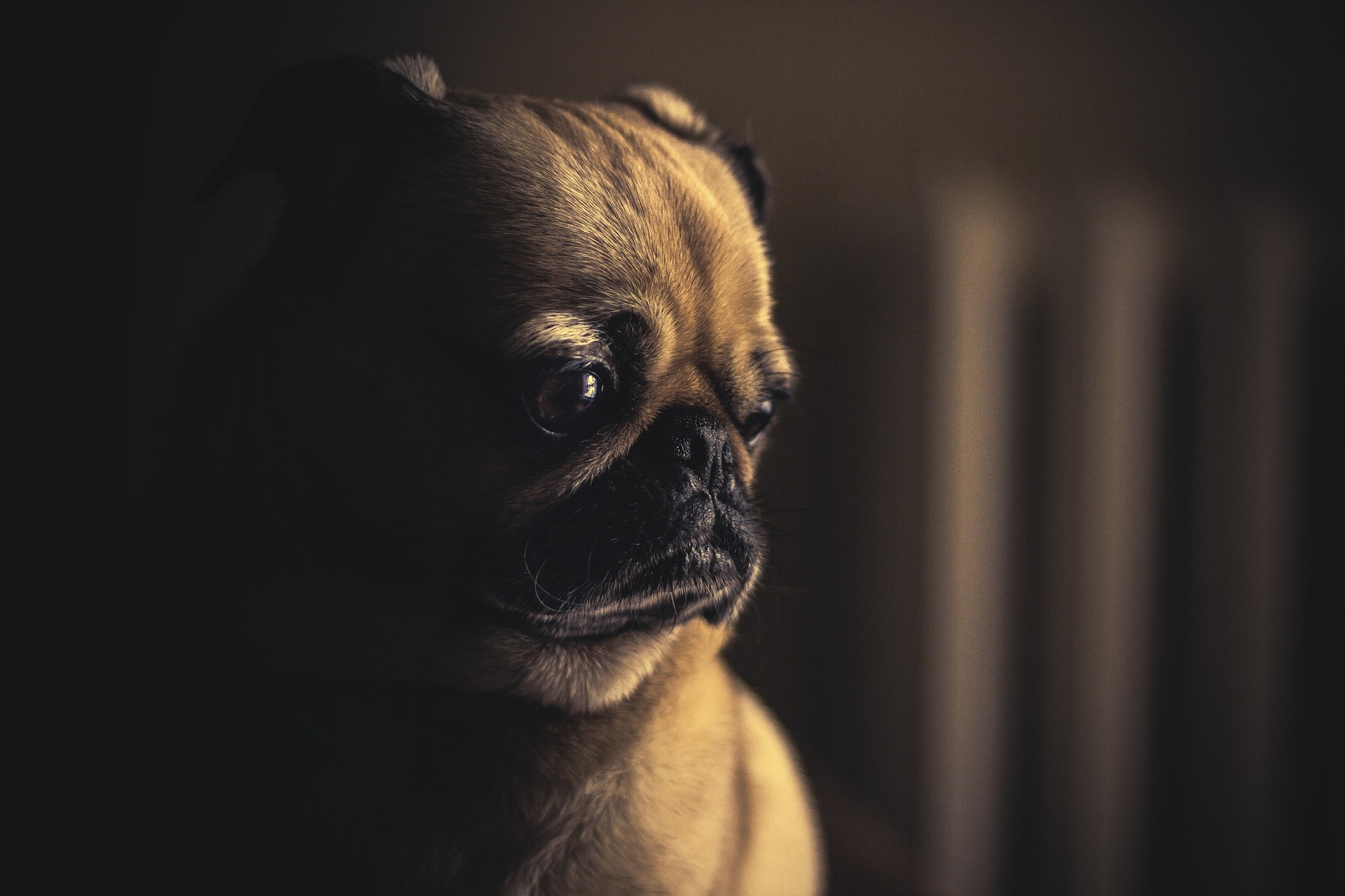 dog tooth pain symptoms - pug