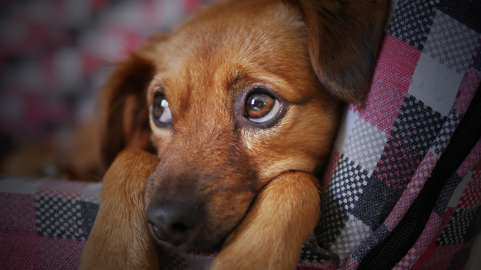 feeding tubes in cats and dogs - brown dog with sad eyes lying on couch under a blanket