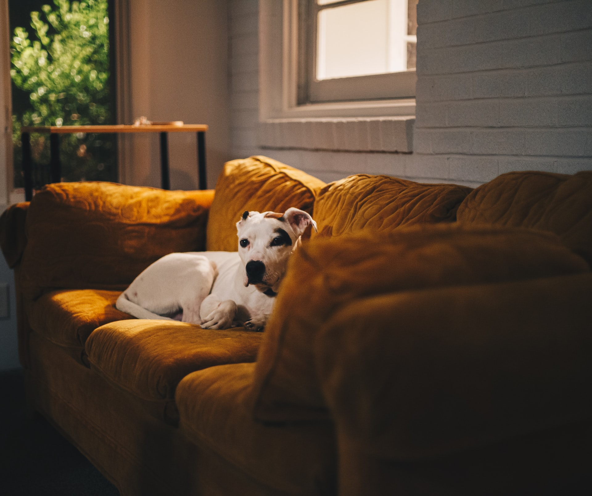 home dental care for pets - dog on yellow couch