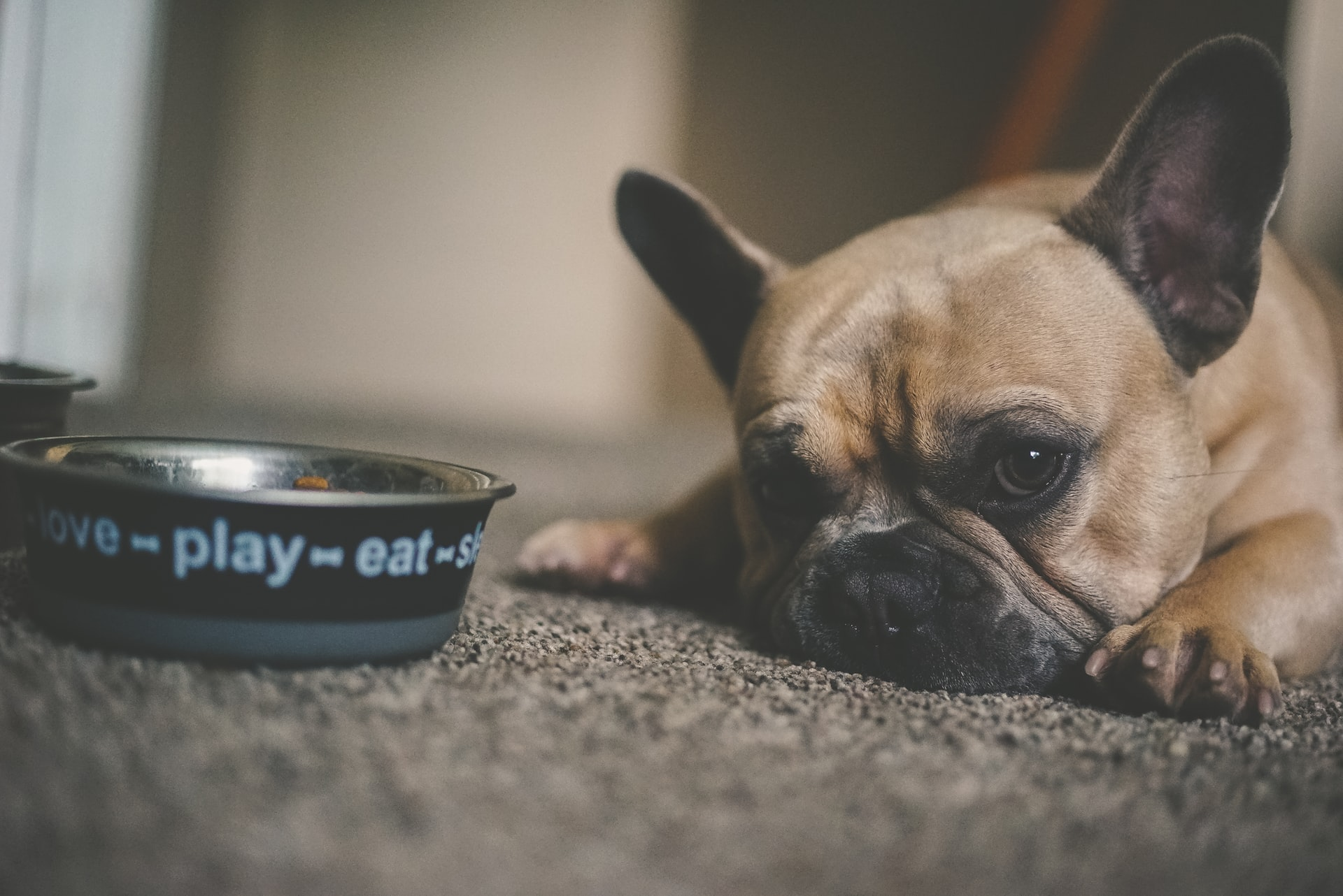 French bull dog lying next to food bowl - when you don't know what to feed your dog with no teeth.
