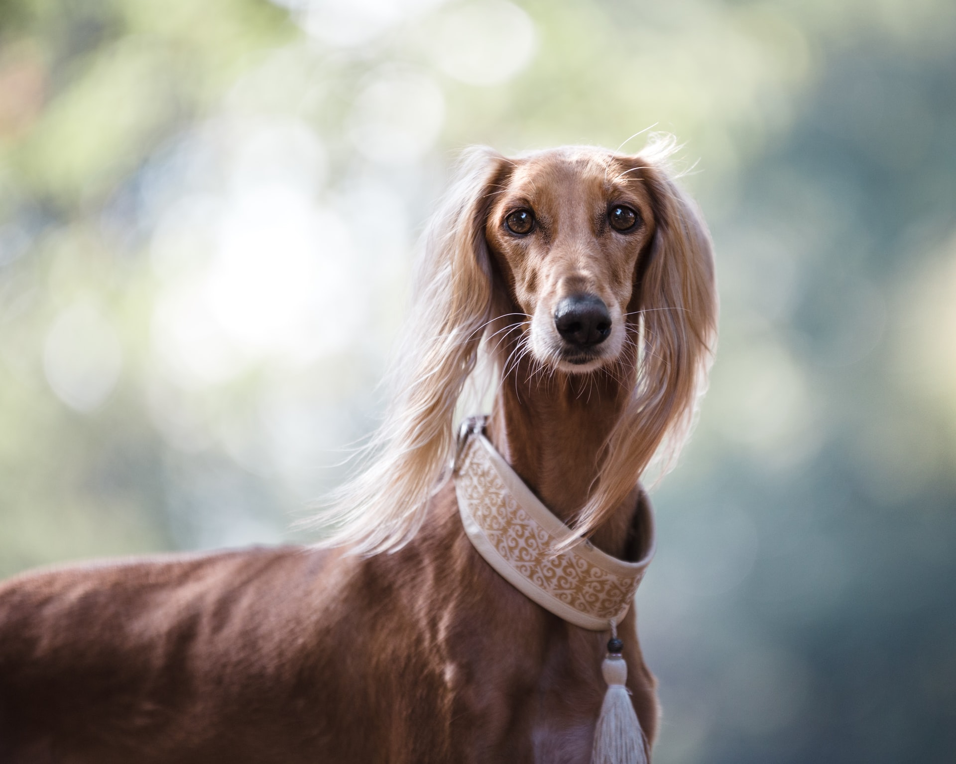 how to calm your dog at the vet - long haired greyhound